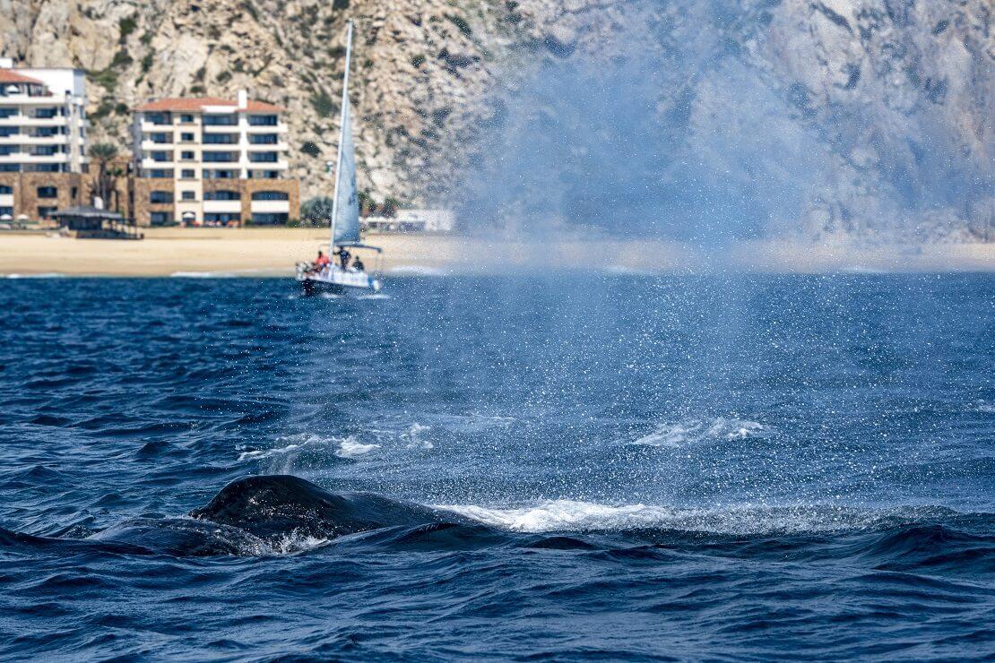 Wal vor der Küste von Tonga im Hintergrund ein Segelboot